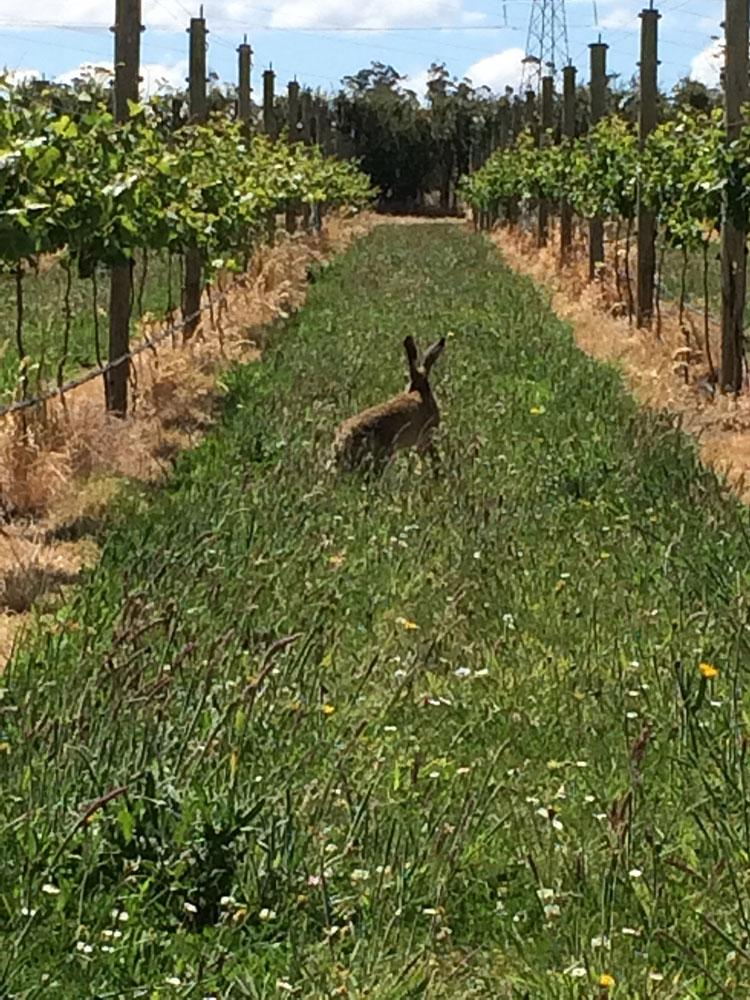 Hare in the vines
